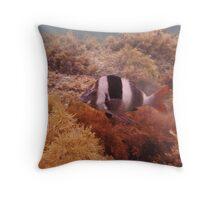 Magpie Perch (Cheilodactylus nigripes) - Hallett Cove, South Australia Throw Pillow
