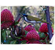 Blue Faced Honeyeater Poster
