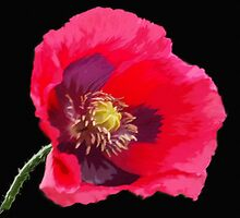 Red Poppy on Black by OlaG