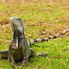 Iguana on Saint Marten Island by Steve Borichevsky