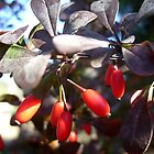 Ornamental shrub with berries by Ana Belaj