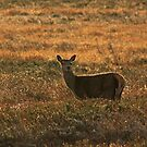 Red Deer by beavo
