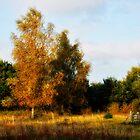 Silver birches by Karen  Betts
