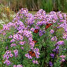 Beautiful Asters Accentuated By Monarchs by NewfieKeith