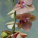 Blooming Orchids and Buds by Paula Betz