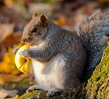 Chubby Grey Squirrel by Margaret S Sweeny
