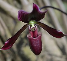 Deep, Dark Orchid Flower by Paula Betz