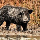 Face-to-Face with a Ferrel Hog  by Dennis Stewart
