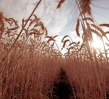 Wheat Tunnel by Anthea Bennett
