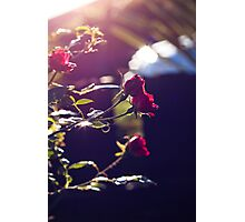 Miniature Red Roses Photographic Print