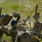 6 Superb Blue Fairy Wrens!! by Ron Co