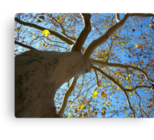 Sycamore Tree Canvas Print