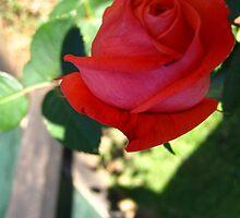 November Rose  by dge357