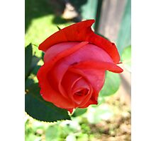 November Rose 3 Photographic Print