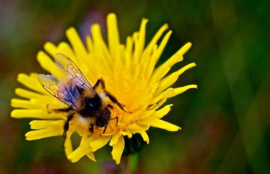 Bumblebee - 2 by Jessica Karran