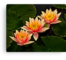 Three orange waterlilies Canvas Print