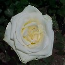 White Rose 2... by Photos55