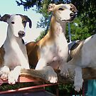 Whippet Party by Thomas Stevens