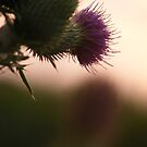 sunset thistle by bluelikasmurf