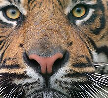Tiger Tiger!! by churchy123