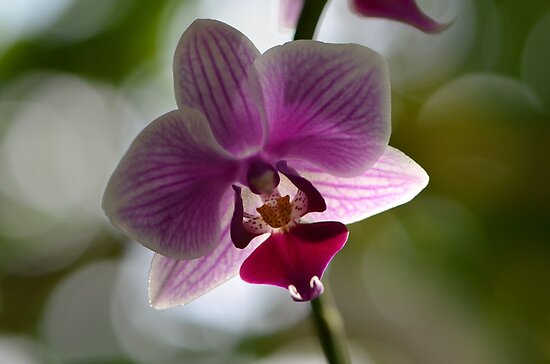 One Beautiful Orchid by Paula Betz