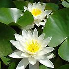 Water Lily by Ivo Velinov