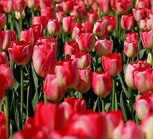 Tulip Field iPhone Case by Debbie Stika