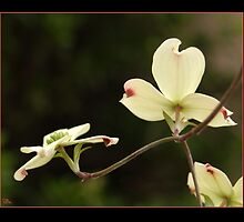 White Dogwood Blossoms Reaching  by Teddie McConnell
