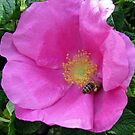 An English Rose and an Italian Bee  by BlueMoonRose