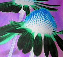 Echinacea purpurea by ©The Creative  Minds