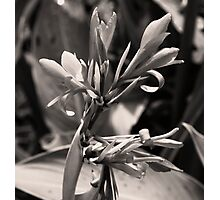Blooming Cana Blossom Photographic Print