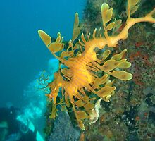 Leafy Sea Dragon by Willy06