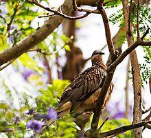 Diamond Dove ( Geopelia Cuneata) by Evita