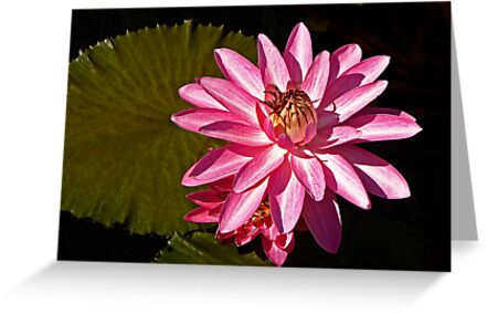 Pink waterlily by cclaude