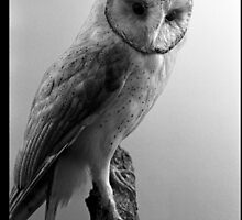 Owl by BKSPicture
