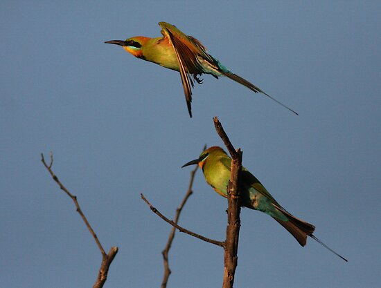 Sunset Bee-Eaters by Phillip Weyers