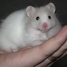 Close up of a white syrian hamster by Abigail Langridge