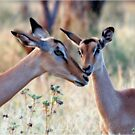 JUST A SMALL HUG? - BLACK-FACED IMPALA _Aepyceros melampus petersi by Magaret Meintjes