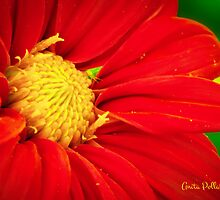Red Daisy by Anita Pollak