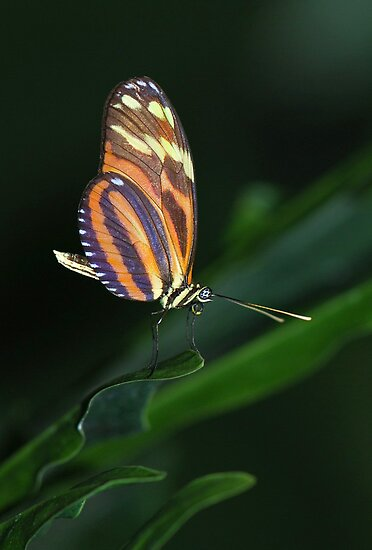 Ismenius Tiger - Heliconius ismenius by Lynda   McDonald
