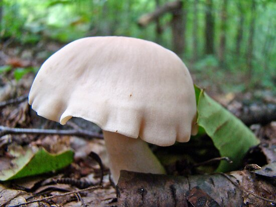 White Draped Mushroom  by MotherNature