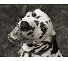Dotty the Dalmatian Photographic Print