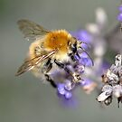 the bumblebee on the flower by jean-jean