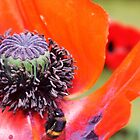 Poppy-ing Out to Lunch! by MichelleRees