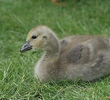 Sweet Little Gosling by Debbie Stika