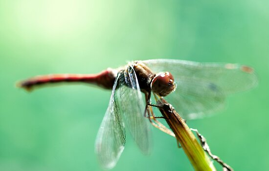 Dragonfly by Sandy  Taylor Photography