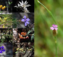 Wildflowers all found in Conimbla National Park NSW Australia by geoffgrattan