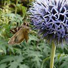 Butterfly on a Purple Flower by Emily Clarke