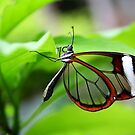 Wings of Glass - Greta Oto by Lepidoptera