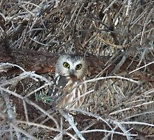 Watcha lookin' at?   -  Sawwhet owl by MischaC